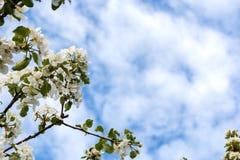 äpplet blommar treen arkivbild