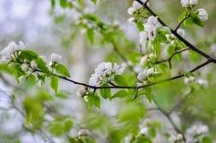 äpplet blommar treen Royaltyfria Foton