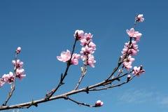 äpplet blommar wild royaltyfri fotografi