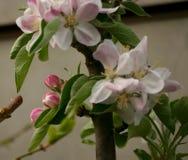 äpplet blomstrar closeupen Royaltyfri Fotografi