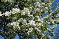 äpplet blomstrar fjädern Fotografering för Bildbyråer