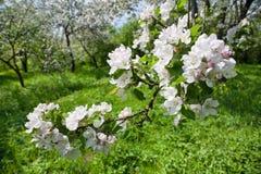 äpplet blomstrar fjädertreen Royaltyfri Fotografi