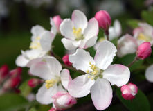 äpplet blomstrar pink Arkivfoto