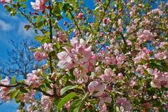 äpplet blomstrar pink Royaltyfri Foto