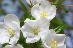 äpplet blomstrar treen Royaltyfri Bild
