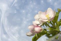 äpplet blomstrar treen Arkivfoton