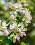 äpplet blomstrar white Arkivbild