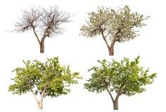 Äppleträd för fyra säsonger som isoleras på vit Royaltyfria Bilder