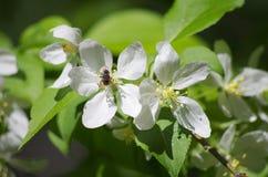 Äppleträd för vit blomma Arkivbild