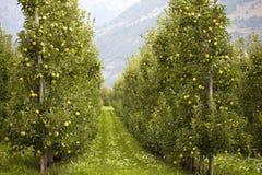 Äppleträd i rader i en fruktträdgård Royaltyfria Bilder