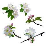 Äppleträdet är i blomning Närbild isolerat Natur i spri royaltyfri fotografi