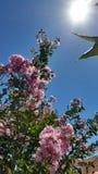 äppleträdet blommar över vit Royaltyfri Bild