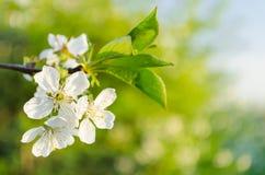 äppleträdet blommar över vit arkivfoto