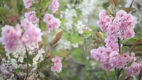 äppleträdet blommar över vit lager videofilmer