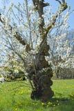 äppleträdet blommar över vit Fotografering för Bildbyråer