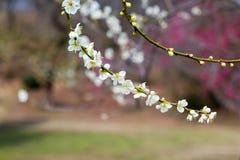 äppleträdet blommar över vit Arkivbild