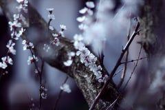 äppleträdet blommar över vit Royaltyfri Fotografi