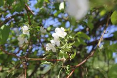 Äppleträdet i blomningen med vita blommor 30658 Royaltyfri Fotografi