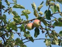 Äppleträdet i gården Fotografering för Bildbyråer