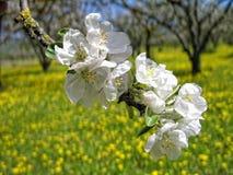 äppleträdgård Royaltyfri Fotografi