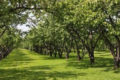 äppleträdgård Arkivbild