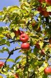 äppletree Arkivbild