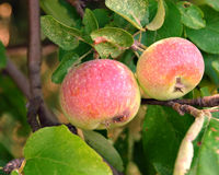 äppletree arkivfoto