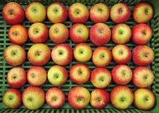 Äppleuppsättning i rader Arkivfoto