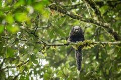 Äquatoriale Saki Monkey Pithecia-aequatorialis Stockbilder