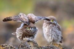 Är Athenenoctuaen för liten uggla två på stenen på en härlig bakgrund Fotografering för Bildbyråer