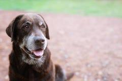 Är blygt skyldigt för hund en skyddhundhund som väntar se upp med ensamma ögon en intensiv stirrande utomhus arkivbilder