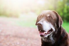 Är blygt skyldigt för hund en skyddhundhund som väntar se upp med ensamma ögon en intensiv stirrande utomhus i natur arkivfoton