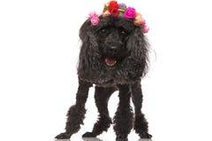 Är den bärande blommakronan för den lyckliga svarta pudeln stående övre Arkivfoto