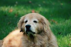 Är den gamla hunden för djup tänkare smart Arkivfoto