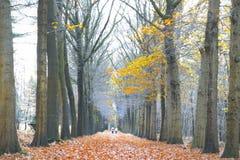 Är den guld- hösten färgade sidor på träden en härlig sikt för det gå folket Arkivbilder