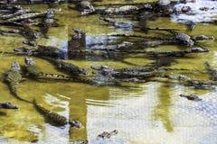 Är den kubanska krokodilcrocodylusen Rhombifer för simning liten art av krokodilendemisken till Kuban - den Halvö de Zapata Medbo Royaltyfria Foton