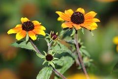 Är den röda sporten för Rudbeckiatriloba` en högväxt växt som växer lätt med massor av blommor Royaltyfria Bilder