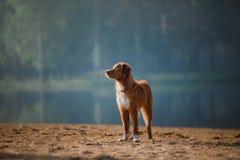 Är den tolling apportörn för den hundNova Scotia anden på sanden Fotografering för Bildbyråer