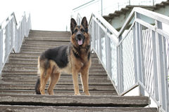 Är den tyska herden för hunden på momenten Arkivbild
