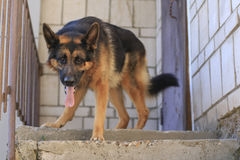 Är den tyska herden för hunden på momenten Arkivfoto