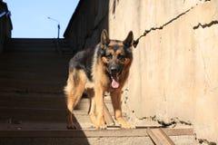 Är den tyska herden för hunden på momenten Fotografering för Bildbyråer