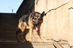 Är den tyska herden för hunden på momenten Royaltyfri Foto