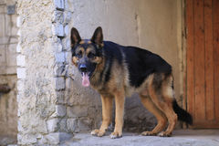 Är den tyska herden för hunden på momenten Arkivfoton