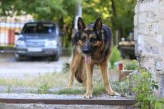 Är den tyska herden för hunden på momenten Royaltyfria Bilder