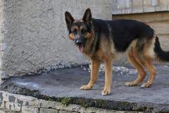 Är den tyska herden för hunden på momenten i en sommar Royaltyfria Bilder
