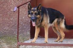 Är den tyska herden för hunden på momenten i en sommar Royaltyfri Bild