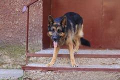 Är den tyska herden för hunden på momenten i en sommar Royaltyfri Foto