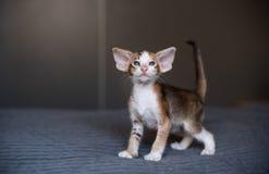 Är den unga orientaliska katten för mörk färg på sängen Royaltyfri Foto