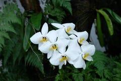 Är den vita månen för orkidén, Phalaenopsisamabilis som, gemensamt är bekanta som den bulan måneorkidén eller angreken, art av de fotografering för bildbyråer
