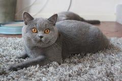 Är det blåa laget för den lilla katten avslappnande Arkivbilder